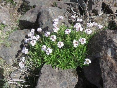 Fleurs sauvages du Pico de Arieiro - Madère