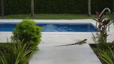 Un iguane au bord de la piscine - El Roble (Costa Rica)