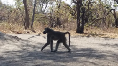 Babouin au campsite de Mbudi - Botswana