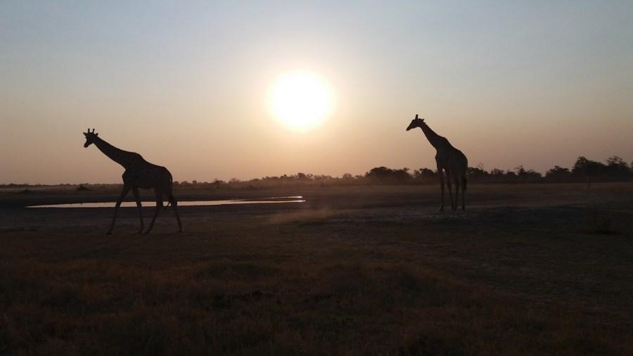 Girafes dans le soleil couchant - Réserve de Moremi (Botswana)