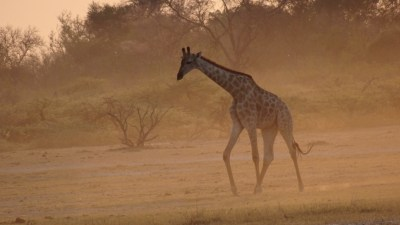 Girafes - Réserve de Moremi (Botswana)