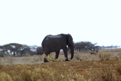 éléphant - Nxai Pan NP (Botswana)
