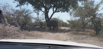 Eléphant devant nous sur la piste - Botswana