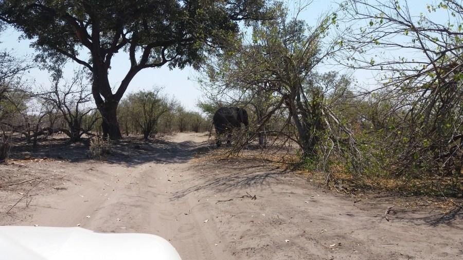 Eléphant sur la piste - Botswana