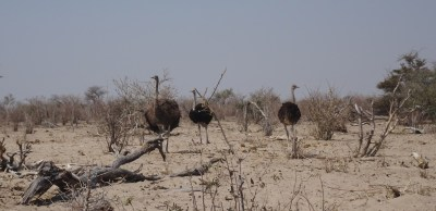 Autruches - Rivière Boteti (Botswana)