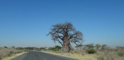 Baobab sur la route de Kachekau - Botswana