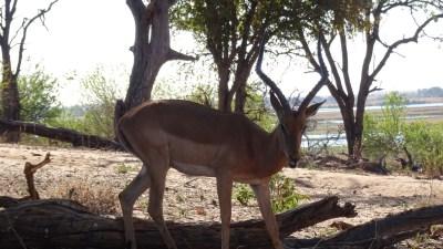 Impala au bord de la rivière Chobe - Botswana
