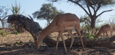 Impalas au bord de la rivière Chobe - Botswana