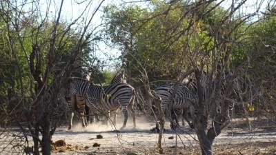 Zèbres - PN Chobe (Botswana)