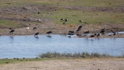 Oiseaux au bord de la rivière du parc national de Chobe - Botswana