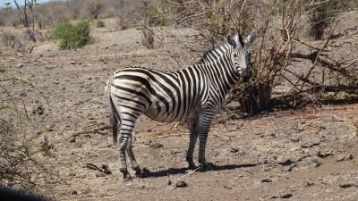 Zèbre au bord de la rivière du parc national de Chobe - Botswana