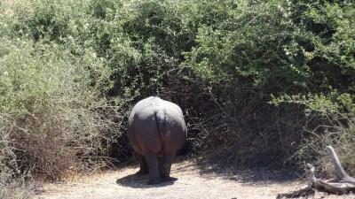 Hippopotame au bord de la rivière du parc national de Chobe - Botswana