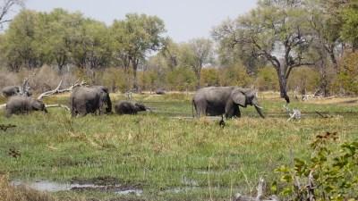 Eléphants au bord de la rivière Khwai - campsite de Mbudi (Botswana)