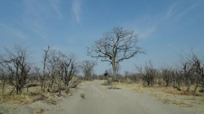 Sur la piste entre Khwai et North Gate (Botswana)