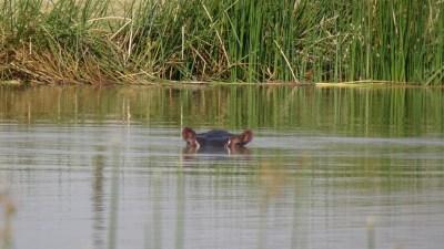 Hippopotame - Réserve de Moremi (Botswana)
