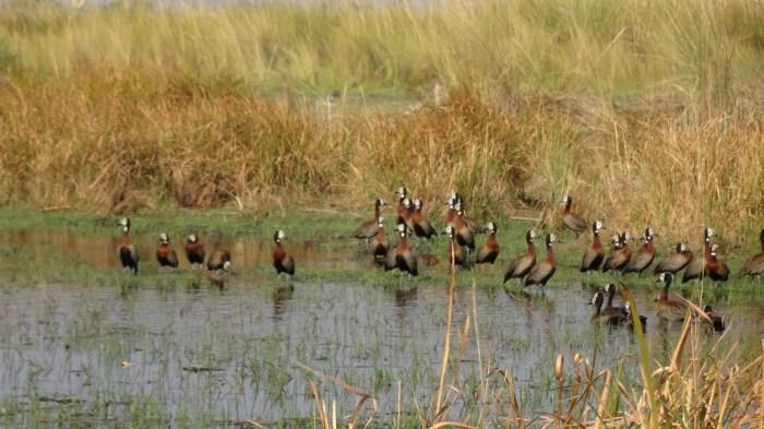 White-Face Ducks dans la réserve de Moremi - Botvswana
