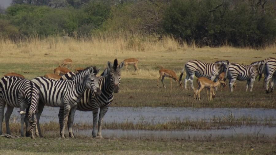 Zèbres et Springbocks - Réserve de Moremi (Botswana)
