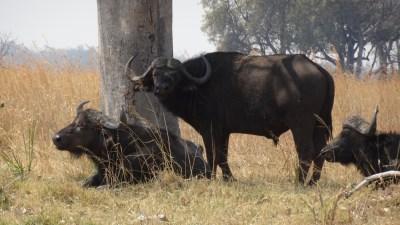 Buffles - Réserve de Moremi (Botswana)