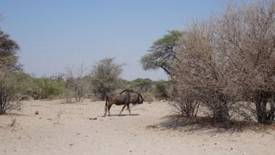Gnou - Rivière Boteti (Botswana)
