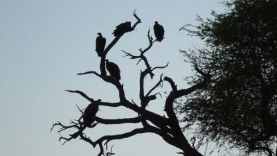Vautours - Makgadikgadi NP (Botswana)