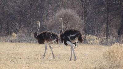 Autruches - Nxai Pan NP (Botswana)