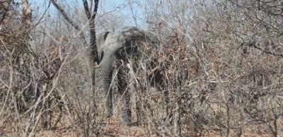 Eléphant au campsite de Savuti - Botswana