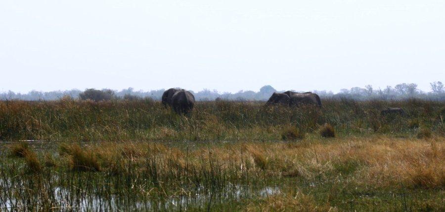 Eléphants - Réserve de Moremi (Botswana)