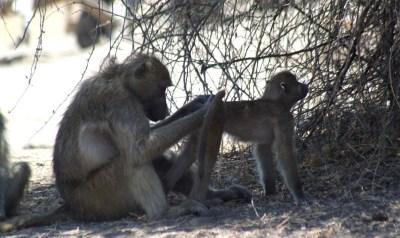 Babouins dans le parc national de Chobe - Botswana