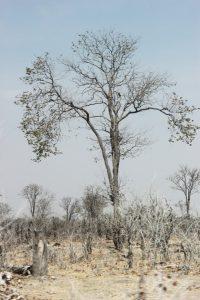 Paysage sur la White Road entre Savuti et la concession de Khwai - Botswana