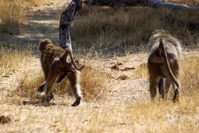 Babouins au campsite de Mbudi - Botswana