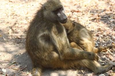Babouins aux chutes Victoria - Zimbabwe