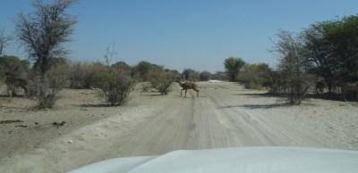 Kudu sur la piste - Makgadikgadi NP (Botswana)