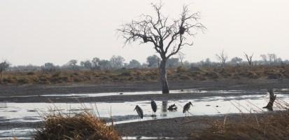 Marabous - Réserve de Moremi (Botswana)