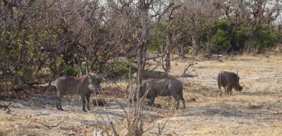 Phacochères - Réserve de Moremi (Botswana)
