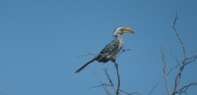 Red billed hornbill - Botswana
