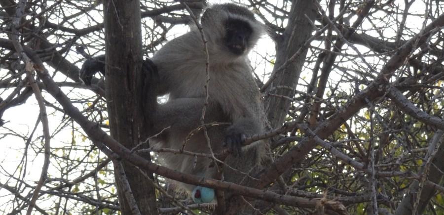 Vervet - Makgadikgadi NP (Botswana)