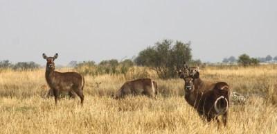 Waterbucks - Réserve de Moremi (Botswana)