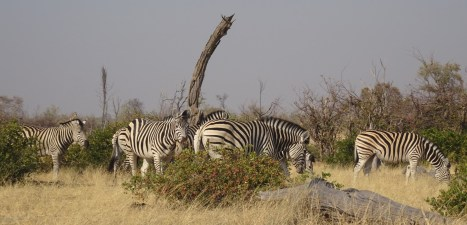 Zèbres - Réserve de Moremi (Botswana)