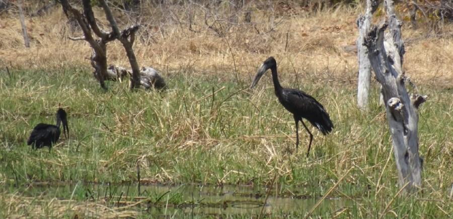 African Openbill dans la rivière Khwai - Botswana