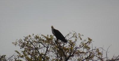 Aigle au bord de la rivière Khwai - Botswana