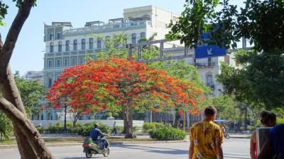 Magnifique flamboyant dans le centre ville de La Havane - Cuba