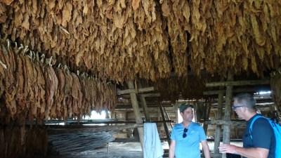 Le séchage des feuilles de Tabac - Vinales (Cuba)