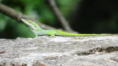 Un beau lézard vert au mirador Loma del Mogote - Soroa (Cuba)