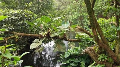 La forêt humide - parc du volcan Tenorio (Costa Rica)