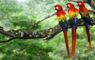 Aras - Parc National Carara (Costa Rica)