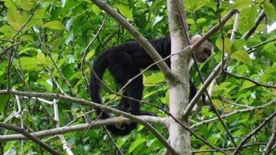 Un singe-capucin dans la forêt tropicale du parc National Carara - Costa Rica