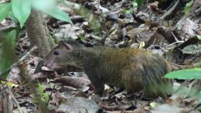 Un agouti dans la forêt tropicale du parc National Carara - Costa Rica
