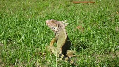 Un iguane dans le jardin à El Roble - Costa Rica