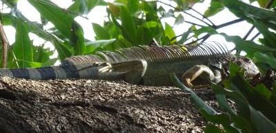 Iguane - El Roble (Costa Rica)