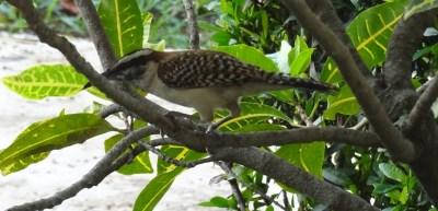 Oiseau - El Roble (Costa Rica)
